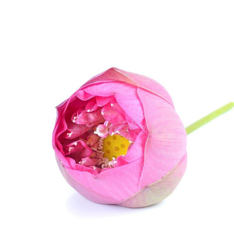 Όμορφο ρόδινο λουλούδι λωτού στο άσπρο υπόβαθρο στοκ φωτογραφία με δικαίωμα ελεύθερης χρήσης