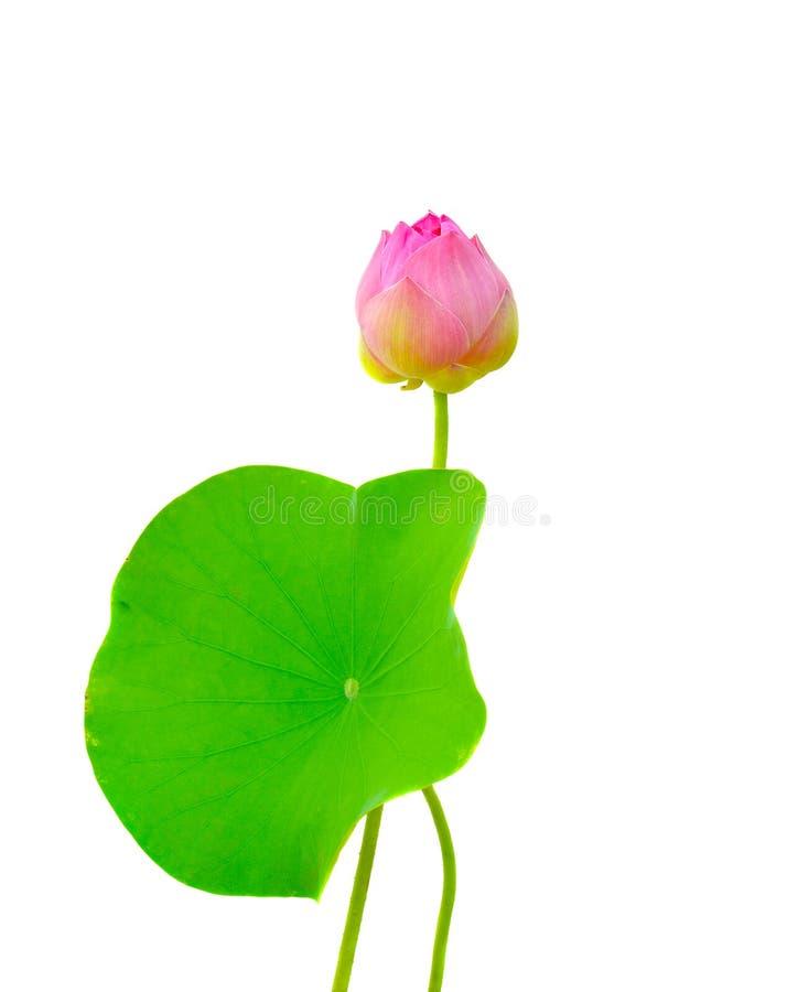 Όμορφο ρόδινο λουλούδι Lotus σε ένα άσπρο υπόβαθρο στοκ εικόνες με δικαίωμα ελεύθερης χρήσης