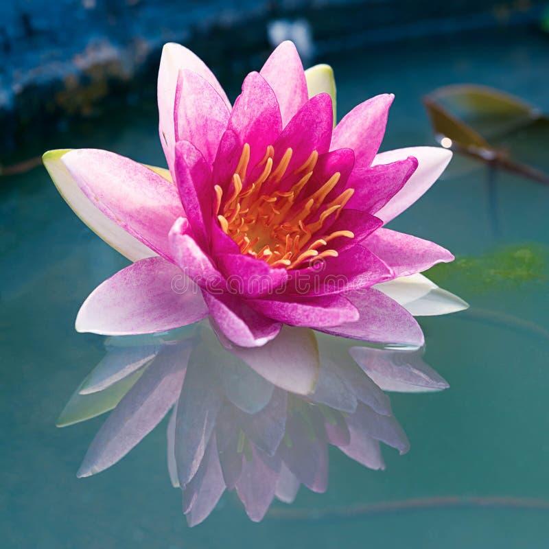 Όμορφο ρόδινο Lotus, κρίνος νερού στοκ φωτογραφίες με δικαίωμα ελεύθερης χρήσης