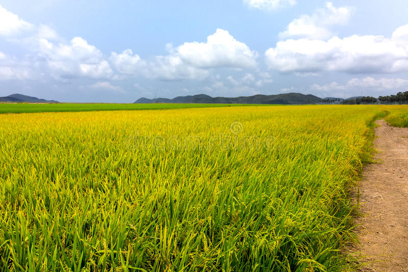 Όμορφο ρύζι χρώματος που αρχειοθετείται με το μπλε ουρανό στοκ εικόνες