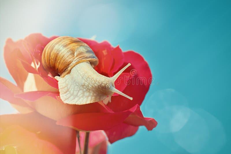 Όμορφο σαλιγκάρι σε ένα μπουμπούκι τριαντάφυλλου ενάντια σε έναν μπλε ουρανό ημέρα ηλιόλουστη στοκ εικόνες με δικαίωμα ελεύθερης χρήσης