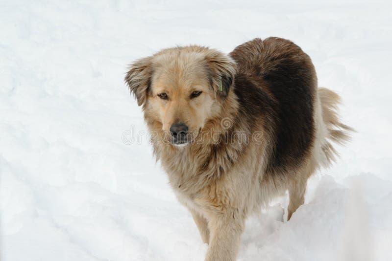 Όμορφο σκυλί διάσωσης που περπατά στο χιόνι στοκ εικόνες με δικαίωμα ελεύθερης χρήσης