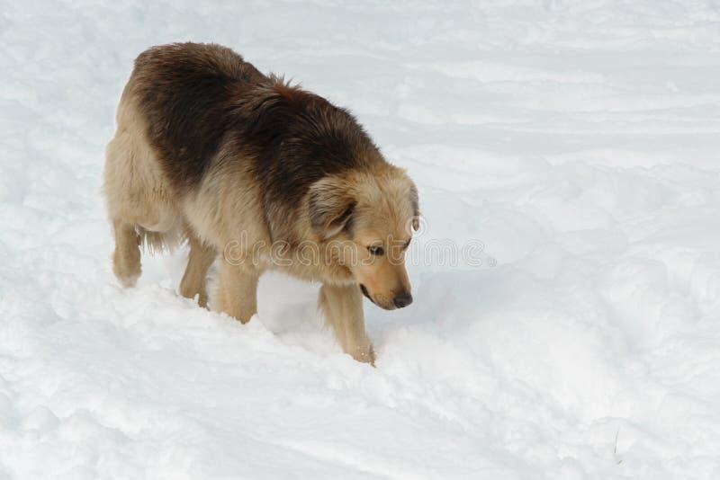 Όμορφο σκυλί διάσωσης που περπατά στο χιόνι στοκ εικόνες