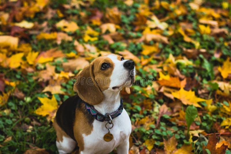 Όμορφο σκυλί κυνηγιού λαγωνικών με το υπόβαθρο με το διάστημα για κάτι στοκ εικόνα με δικαίωμα ελεύθερης χρήσης