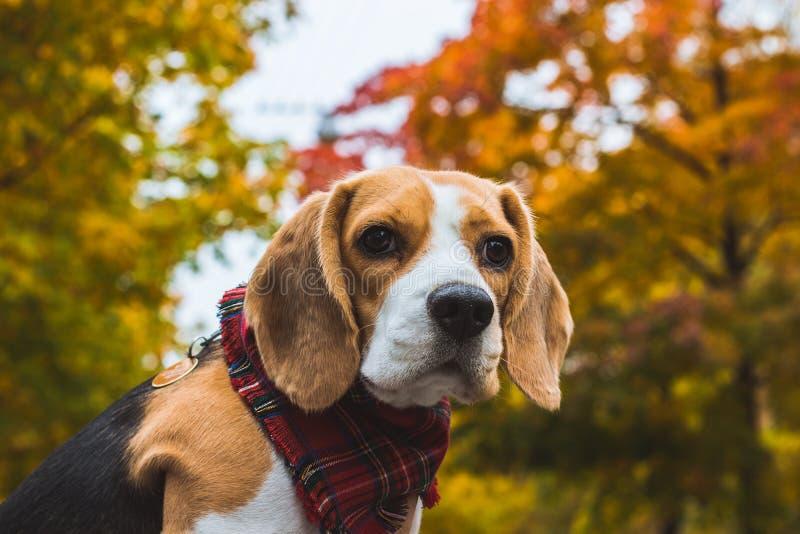 Όμορφο σκυλί κυνηγιού λαγωνικών με το υπόβαθρο με το διάστημα για κάτι στοκ φωτογραφίες