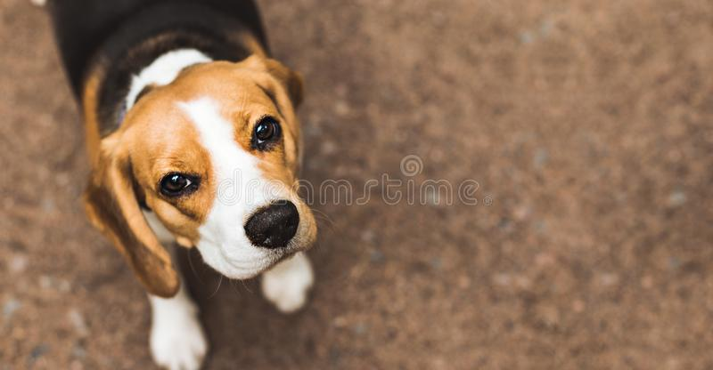 Όμορφο σκυλί κυνηγιού λαγωνικών με το υπόβαθρο με το διάστημα για κάτι στοκ εικόνες