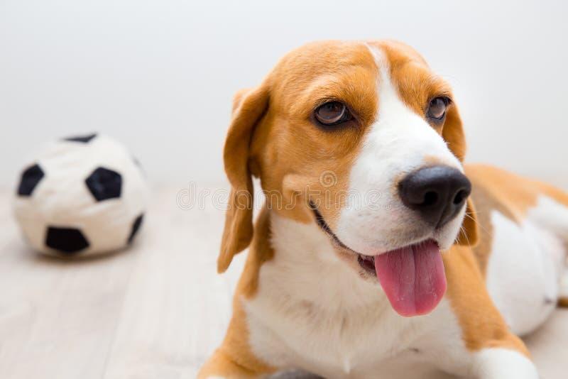 Όμορφο σκυλί λαγωνικών στοκ φωτογραφίες με δικαίωμα ελεύθερης χρήσης