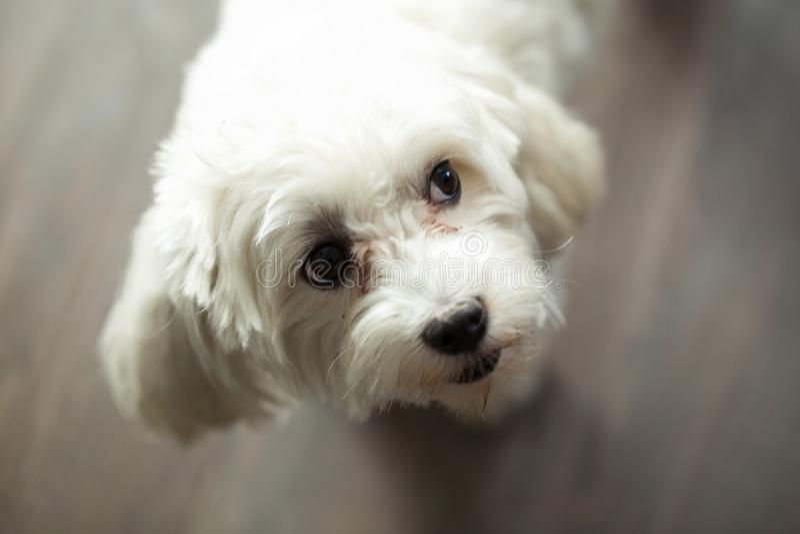 Όμορφο σκυλί που γέρνει το κεφάλι της με μια περίεργη έκφραση κοιτάζοντας λοξά στο σπίτι στοκ εικόνα