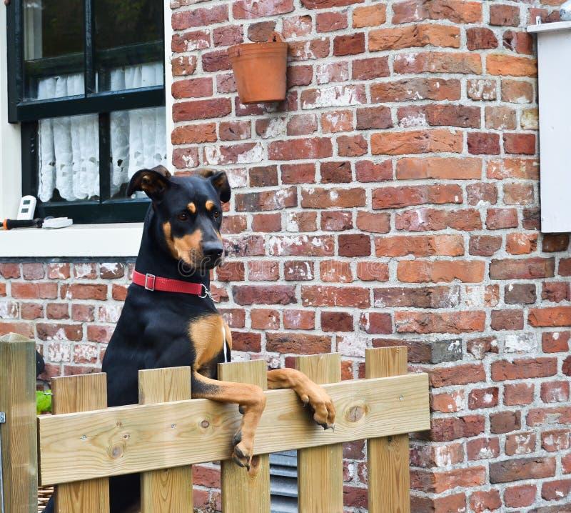 Όμορφο σκυλί που κοιτάζει πέρα από τη φραγή κήπων στοκ φωτογραφίες