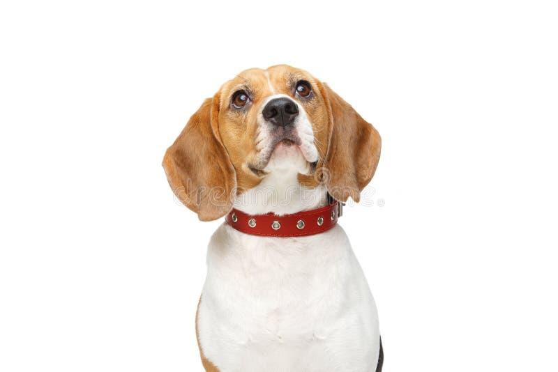 Όμορφο σκυλί λαγωνικών που απομονώνεται στο λευκό στοκ εικόνα