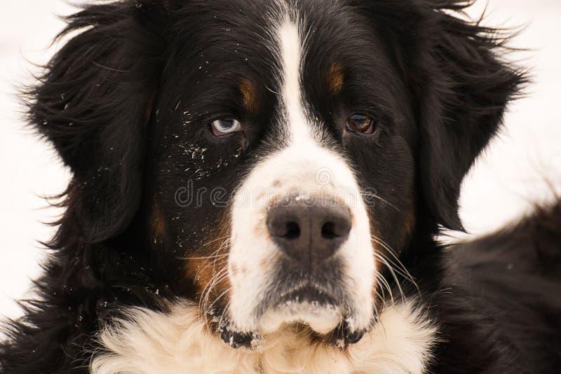 Όμορφο σκυλί μπλε ματιών στοκ εικόνα