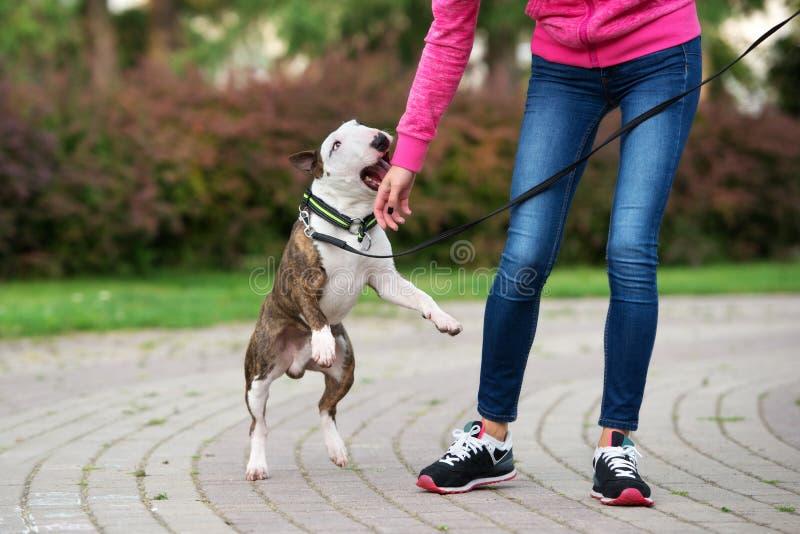 Όμορφο σκυλί τεριέ ταύρων υπαίθρια το καλοκαίρι στοκ φωτογραφίες με δικαίωμα ελεύθερης χρήσης