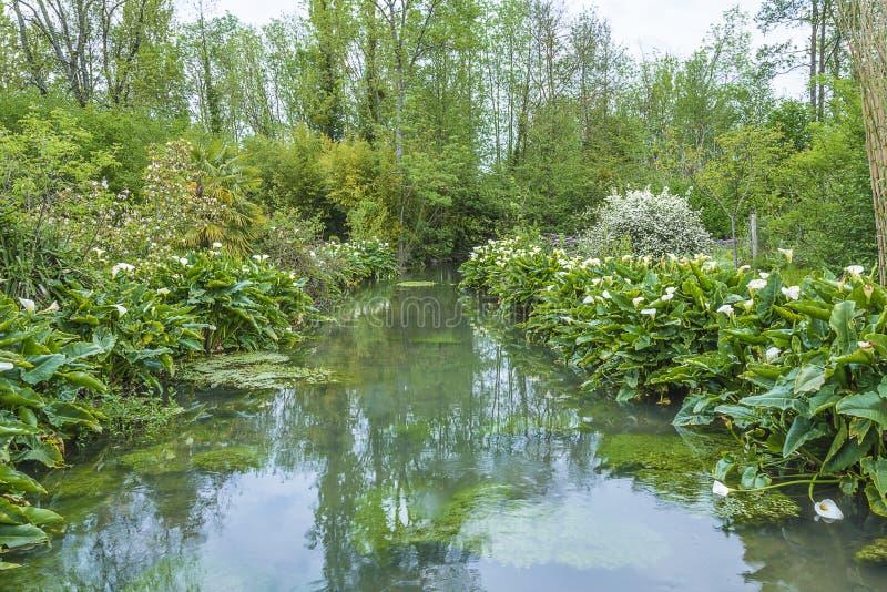 Όμορφο τοπίο άνοιξη: άσπροι arums ή calla κρίνοι που ανθίζουν κατά μήκος του ποταμού στοκ φωτογραφία με δικαίωμα ελεύθερης χρήσης