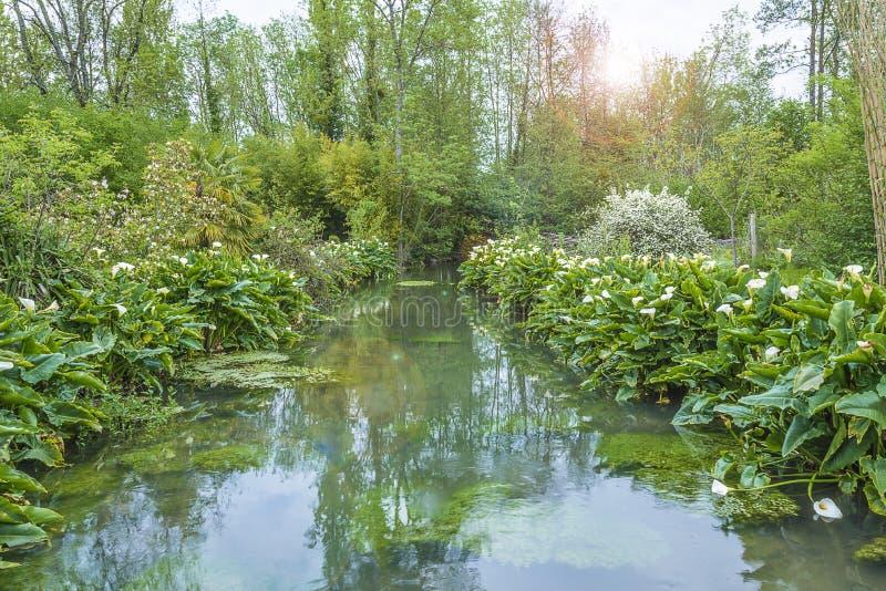 Όμορφο τοπίο άνοιξη: άσπροι arums ή calla κρίνοι που ανθίζουν κατά μήκος του ποταμού στοκ εικόνα