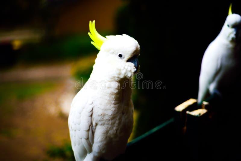 Όμορφο τρομερό άσπρο πουλί cockatoo με το κίτρινο χρυσό κεφάλι στοκ εικόνα με δικαίωμα ελεύθερης χρήσης