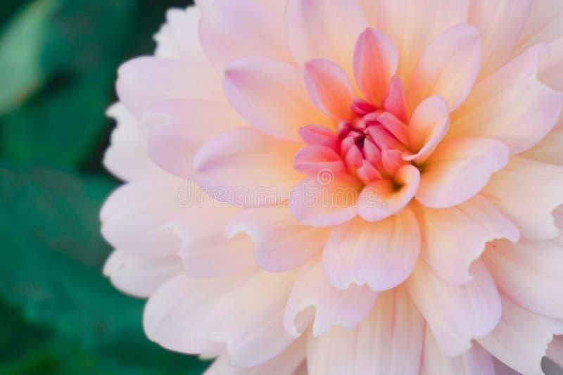 Όμορφο τροπικό λουλούδι στον κήπο στοκ φωτογραφία με δικαίωμα ελεύθερης χρήσης