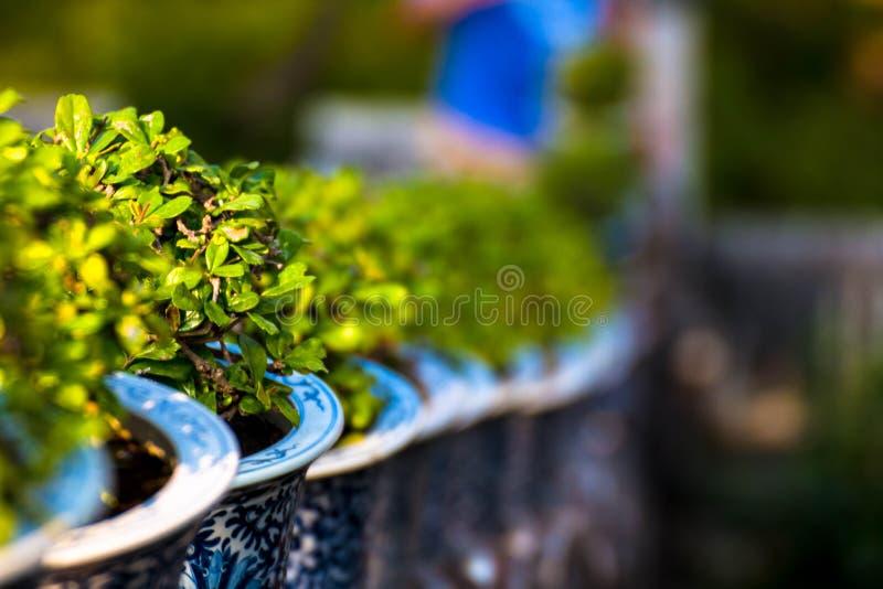 Όμορφο τσάι Carmona retusa ή Fukien στο ανθοπωλείο στο παλάτι του Phetburi στοκ εικόνες με δικαίωμα ελεύθερης χρήσης