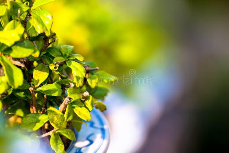 Όμορφο τσάι Carmona retusa ή Fukien στο ανθοπωλείο στο παλάτι του Phetburi στοκ φωτογραφία