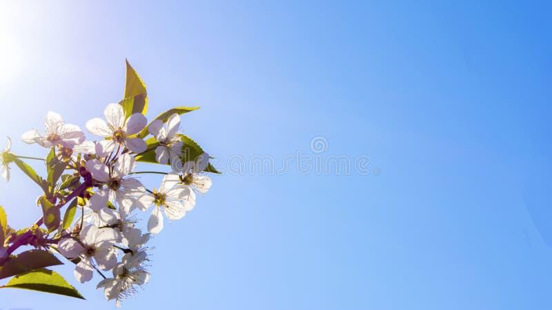 Όμορφο υπόβαθρο ανθών λουλουδιών άνοιξη άσπρο στοκ φωτογραφίες με δικαίωμα ελεύθερης χρήσης