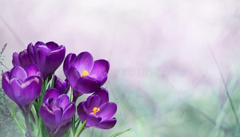 Όμορφο υπόβαθρο ανοίξεων φύσης με τα λουλούδια κρόκων στοκ φωτογραφία με δικαίωμα ελεύθερης χρήσης