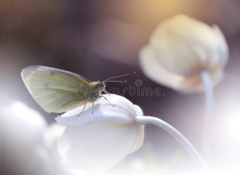 Όμορφο υπόβαθρο φύσης Αφηρημένη καλλιτεχνική ταπετσαρία Μακρο φωτογραφία τέχνης E Πεταλούδα, anemone Καλοκαίρι, ήλιος στοκ φωτογραφία με δικαίωμα ελεύθερης χρήσης