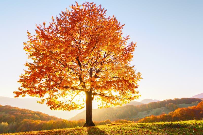 Όμορφο φθινόπωρο Το μόνο πολύβλαστο δέντρο με τα κίτρινα φύλλα με ήλιων κατευθείαν και την άποψη στο μπλε ουρανό είναι στον πράσι στοκ φωτογραφίες με δικαίωμα ελεύθερης χρήσης