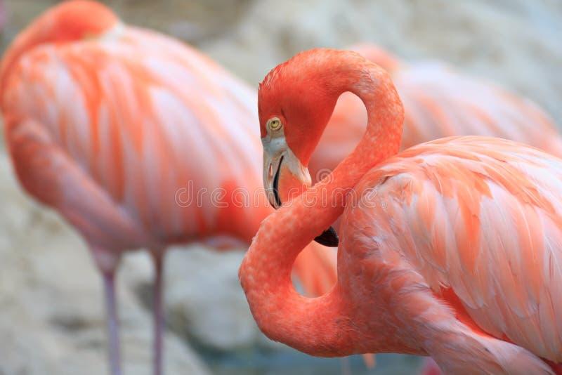 όμορφο φλαμίγκο πουλιών στοκ εικόνες