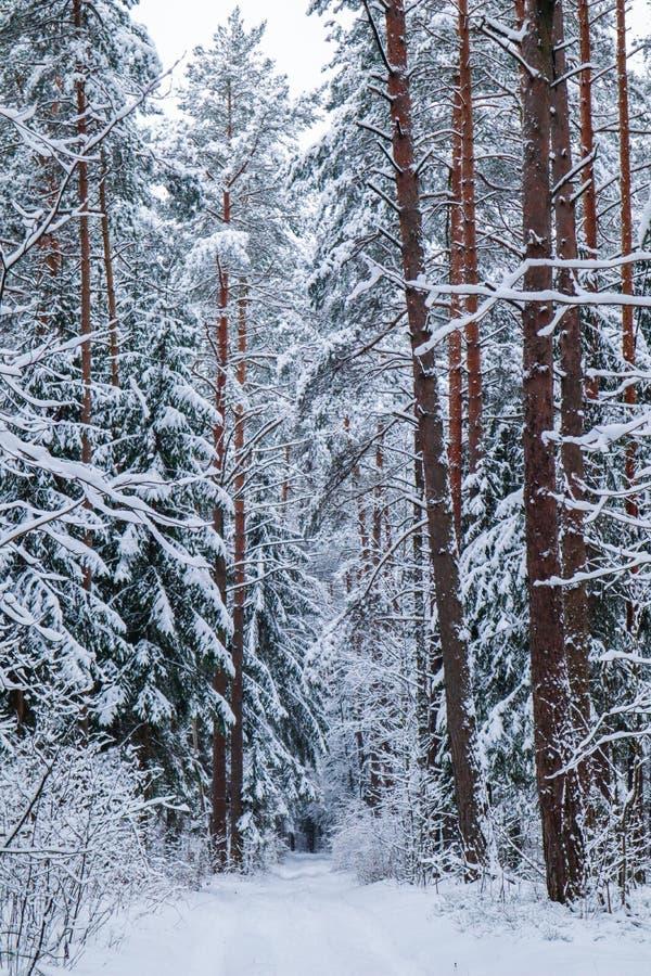 Όμορφο χειμερινό δάσος με τα δέντρα χιονιού Κάθετη εικόνα στον μπλε τόνο στοκ φωτογραφία με δικαίωμα ελεύθερης χρήσης