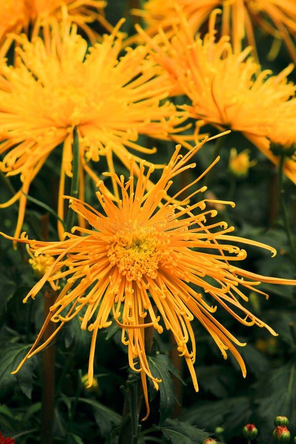 όμορφο χρυσάνθεμο κίτριν&omicro στοκ εικόνα