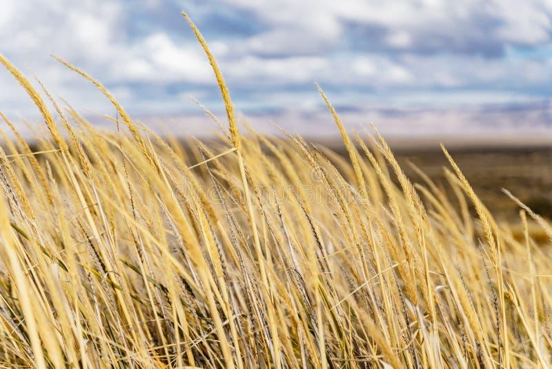 Όμορφο χρυσό κίτρινο ξηρό γυαλί στον αγροτικό τομέα το φθινόπωρο με το νεφελώδη μπλε ουρανό στη EL Calafate στη EL Chalten στη νό στοκ εικόνα με δικαίωμα ελεύθερης χρήσης