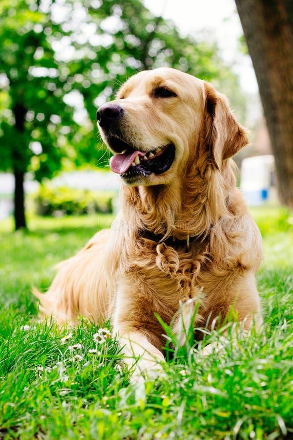 Όμορφο χρυσό Retriever σκυλί που στηρίζεται στο πάρκο στοκ φωτογραφία με δικαίωμα ελεύθερης χρήσης