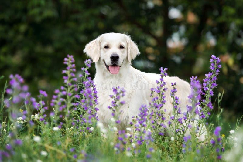 Όμορφο χρυσό retriever σκυλί στα θερινά λουλούδια στοκ εικόνες