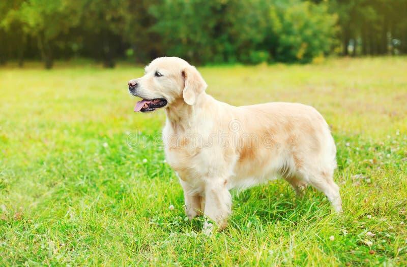 Όμορφο χρυσό Retriever σκυλί στη χλόη το καλοκαίρι στοκ φωτογραφία με δικαίωμα ελεύθερης χρήσης