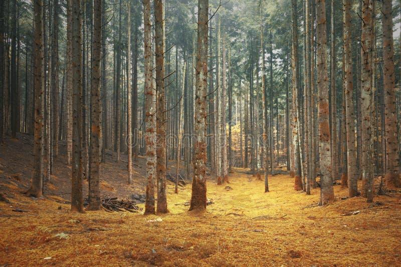 Όμορφο χρωματισμένο δασικό τοπίο κωνοφόρων στοκ εικόνες