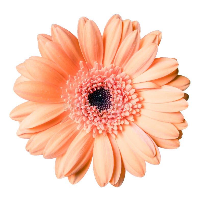 Όμορφο χρωματισμένο ροδάκινο λουλούδι μαργαριτών gerbera που απομονώνεται στην άσπρη κινηματογράφηση σε πρώτο πλάνο υποβάθρου στοκ φωτογραφία με δικαίωμα ελεύθερης χρήσης