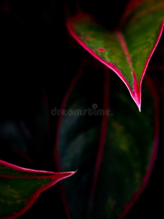 Όμορφο χρώμα στο φύλλο Aglaonema & x27 Αυγή του Σιάμ & x27  τροπικό hou στοκ φωτογραφία με δικαίωμα ελεύθερης χρήσης