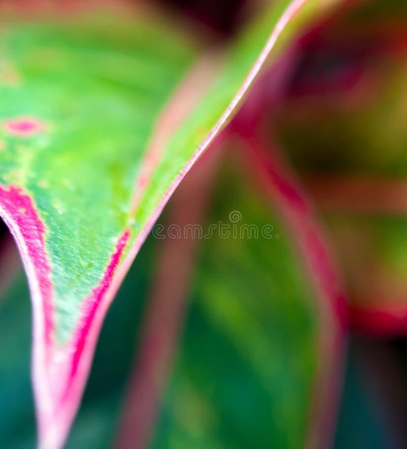 Όμορφο χρώμα στο φύλλο Aglaonema & x27 Αυγή του Σιάμ & x27  τροπικό hou στοκ εικόνα