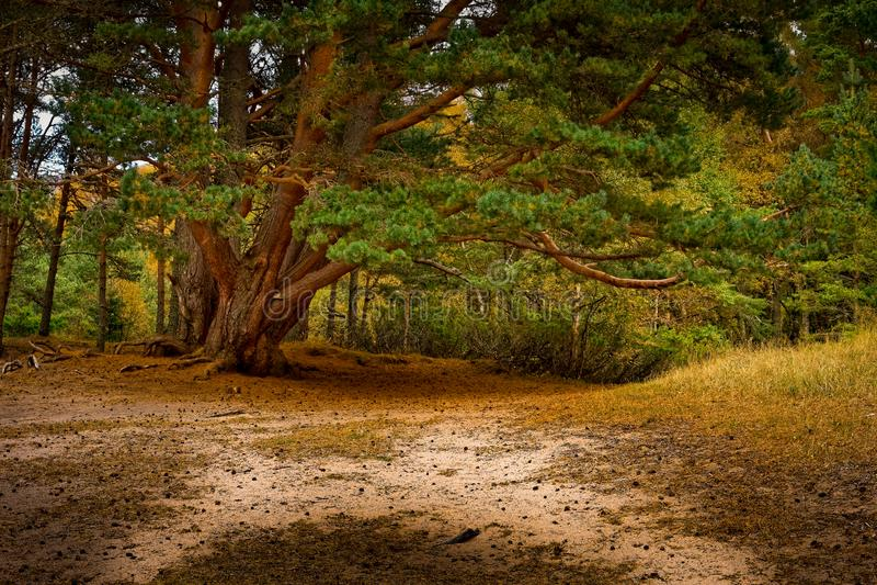 Όμορφο ώριμο δέντρο στο δάσος Aviemore στα τέλη του καλοκαιριού στοκ εικόνα με δικαίωμα ελεύθερης χρήσης