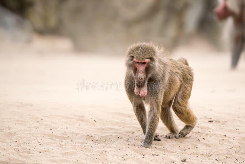 Όμορφο Baboon στοκ φωτογραφίες