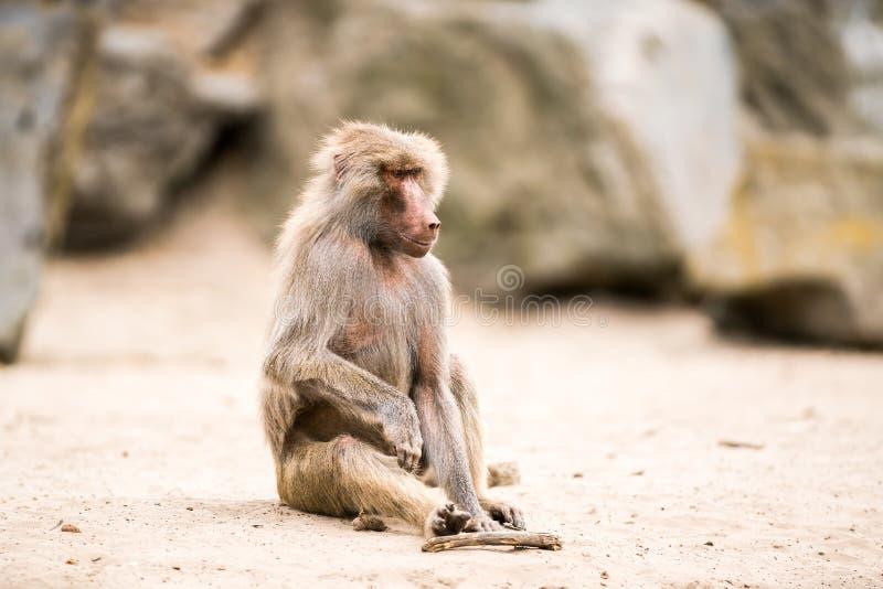Όμορφο Baboon στοκ εικόνες με δικαίωμα ελεύθερης χρήσης
