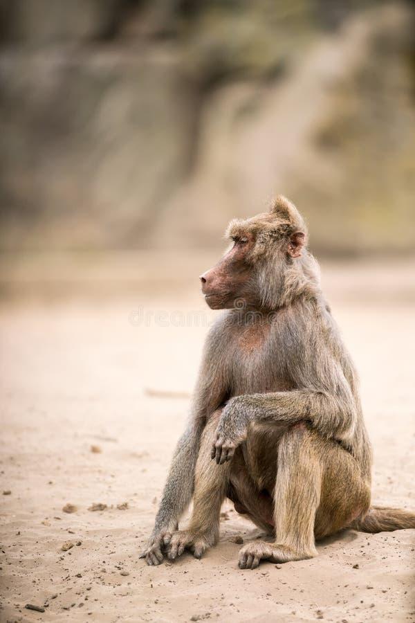 Όμορφο Baboon στοκ εικόνες