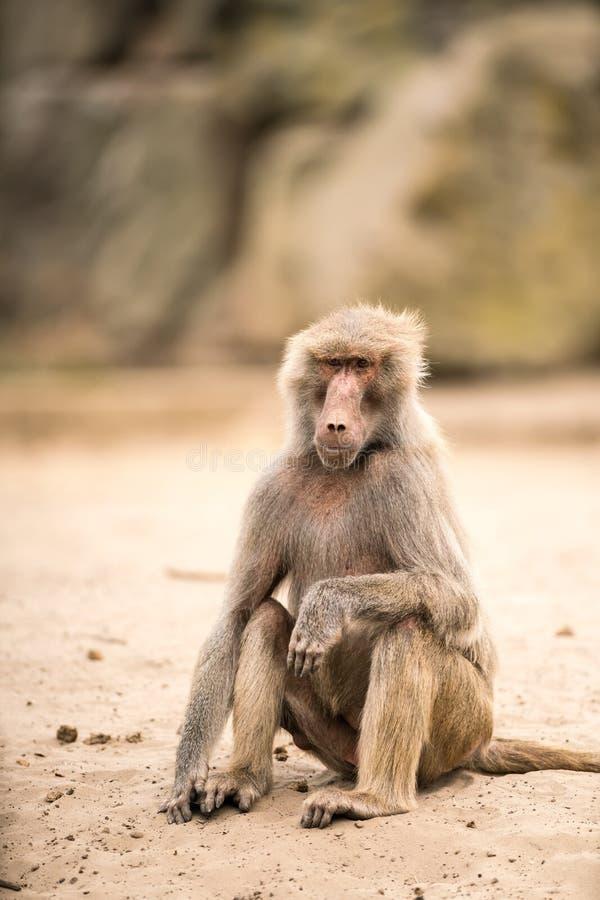 Όμορφο Baboon στοκ εικόνα