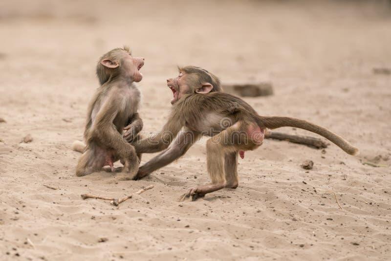 Όμορφο Baboon στοκ εικόνα με δικαίωμα ελεύθερης χρήσης