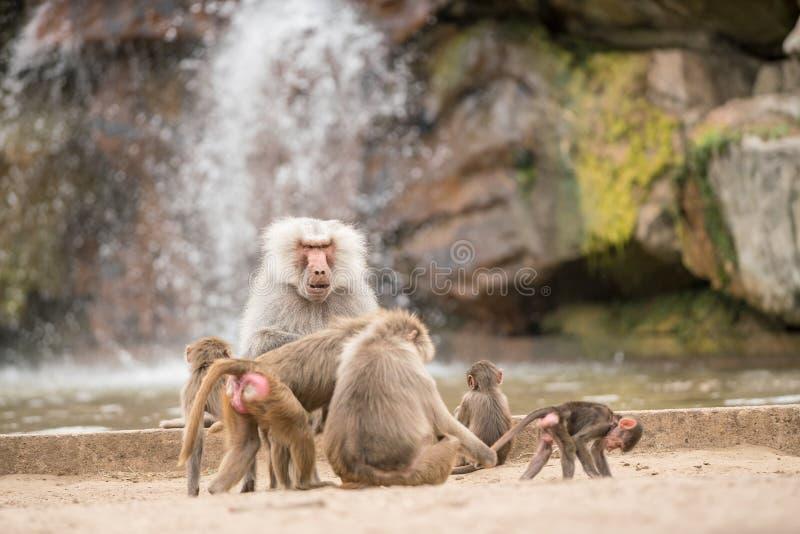 Όμορφο Baboon στοκ φωτογραφία με δικαίωμα ελεύθερης χρήσης
