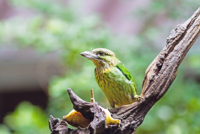 Όμορφο Barbet Lineated πουλιών (linerta Megalaima), ασιατικό Barbet στοκ εικόνες με δικαίωμα ελεύθερης χρήσης