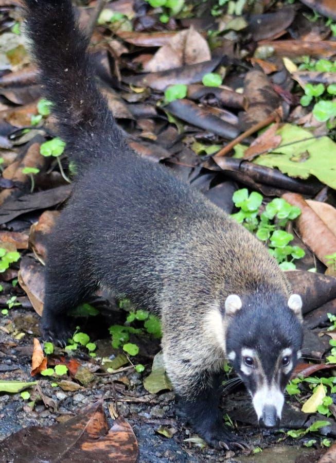 Όμορφο coati στο Κεντρικής Αμερικής racoon ζουγκλών της Κόστα Ρίκα στοκ φωτογραφία