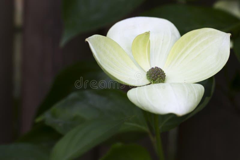 Όμορφο Cornus Kousa, εξωτερικό στον κήπο στοκ φωτογραφία με δικαίωμα ελεύθερης χρήσης