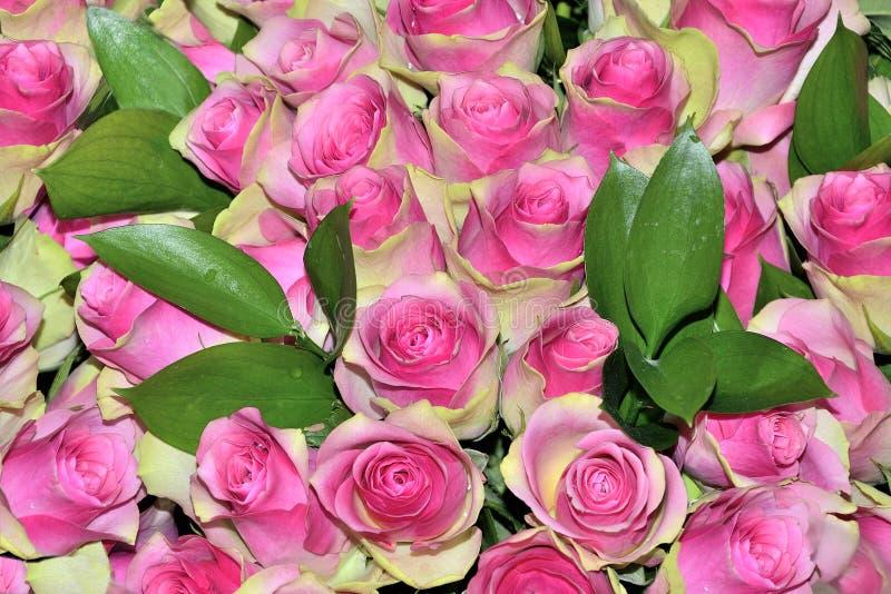 Όμορφο floral υπόβαθρο με τα ρόδινα ανθίζοντας φρέσκα τριαντάφυλλα κοντά στοκ εικόνα με δικαίωμα ελεύθερης χρήσης