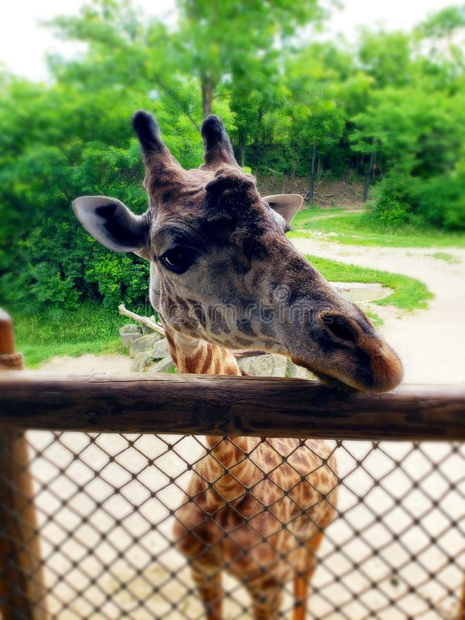 Όμορφο giraffe στοκ φωτογραφία με δικαίωμα ελεύθερης χρήσης