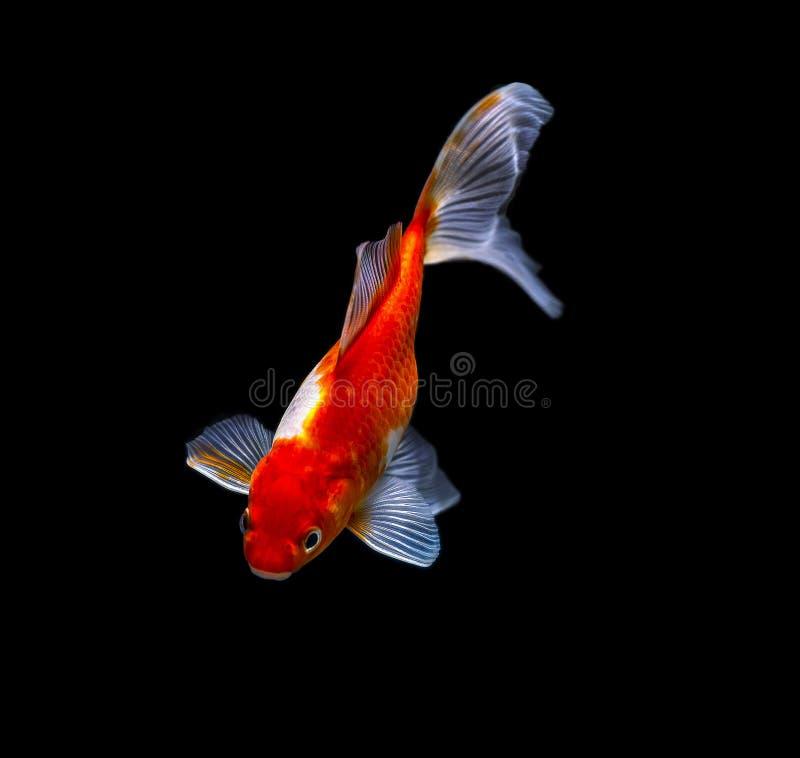 Όμορφο goldfish σε μια δεξαμενή ενυδρείων με ένα μαύρο backgroun στοκ εικόνες με δικαίωμα ελεύθερης χρήσης